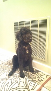 SHEBA...15 year old black standard poodle. Lost in area of 7000 block of Mallard (Talbot Park) on July 3rd. Reward.